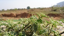 Xanthium Spinosum herbs plant in mountain series. Natural green plant closeup with sharp thrones.