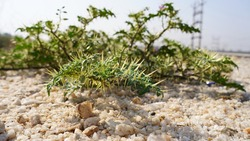 Xanthium Spinosum medicinal plant with sharp pierced thrones. Natural drug from dysentery adenoma pokee larynx.