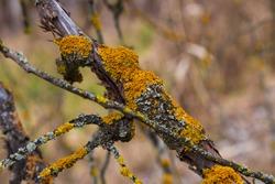 Xanthoria parietina ( common orange lichen, yellow scale, maritime sunburst lichen, shore lichen ) on bark of tree dry branches. Yellow lichen close-up,  on blurred background.