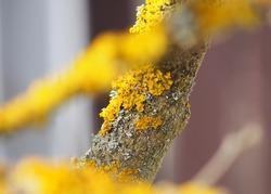 Xanthoria parietina, is a foliose, or leafy, lichen. It has wide distribution, and many common names such as common orange lichen, yellow scale, maritime sunburst lichen and shore lichen.