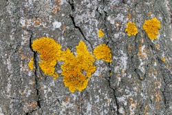 Xanthoria polycarpa lichen on poplar bark, closeup. Lichens are an indicator of environmental cleanliness.