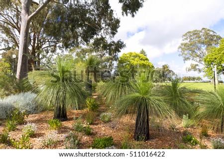 Xanthorrhoea - the Western Australian Grass Tree