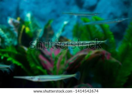 Xenentodon cancila ( Freshwater garfish, Asian freshwater needlefishin)  freshwater aquarium. Wildlife animal. native fish in Thailand #1414542674