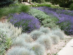 xeriscape landscape, xeriscaping, lavender and blue fescue, in salt lake city, utah