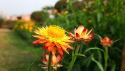 Xerochrysum bracteatum or straw flowers with Natural Background . strawflower in bloom . An orange-red-flowered cultivar .