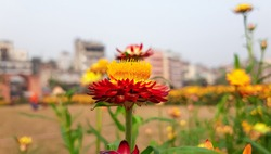 Xerochrysum bracteatum or straw flowers with Natural Background . strawflower in bloom . An orange-red-flowered cultivar .