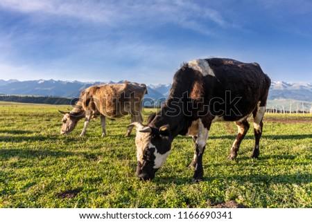 Xinjiang Ili Kalajun grassland, alpine grassland, alpine pasture #1166690341