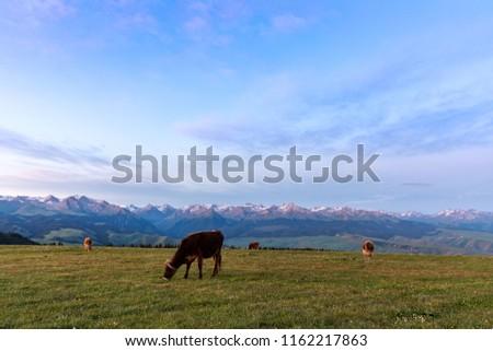 Xinjiang Karaqin grassland, alpine grassland, alpine pasture #1162217863