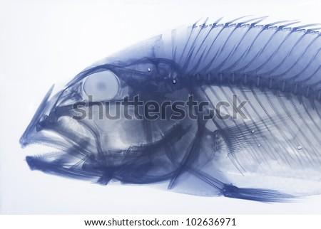 XRay Of A Fish