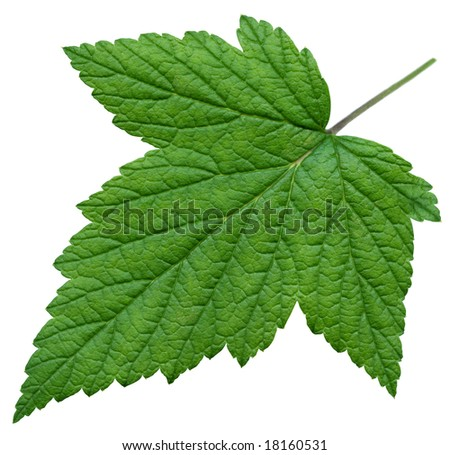 XXL Leaf of Black Currant