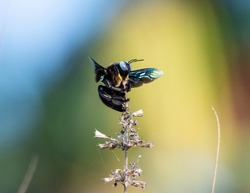 Xylocopa violacea, the violet carpenter bee, is the common European species of carpenter bee, and one of the largest bees in Europe. It is also native to Asia.