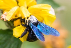 xylocope, black bumblebee with blue wings, foraging on a flower