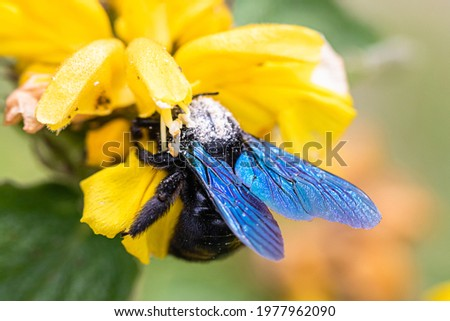 xylocope, black bumblebee with blue wings, foraging on a flower Stock photo ©