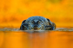 Yacare Caiman, crocodile on the river surface, animal in the water with evening light in nature habitat, Pantanal, Brazil.