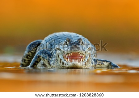 Yacare Caiman, crocodile with open muzzle with big teeth, Pantanal, Brazil. Detail close-up portrait of danger reptile. Wildlife scene from nature. Evening light in the river.
