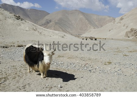 Yak at Lake Karakul. China #403858789