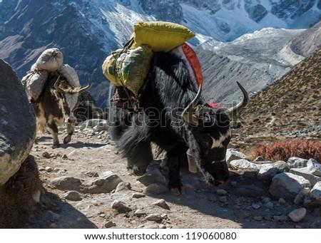 Yak caravan near Dusa - Everest region, Nepal - stock photo