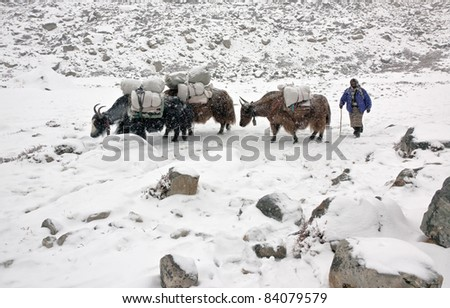Yak caravan on the trek to Mt. Everest - Nepal