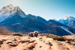 Yak carrying cargo on the way to Everest Base Camp in Himalayas, Nepal. View of Ama Dablam mount in the background. Khumbu valley, Everest region, Nepal.