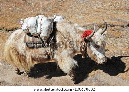 Yak carrying goods, Khumbu region, Nepal