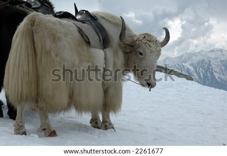 Yak in Himalayas with high snow peaks around. Indian Tibet.