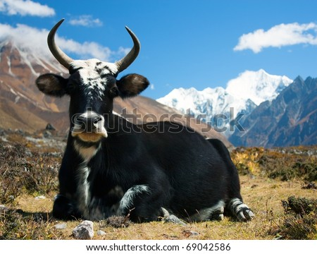 Yak in Langtang valley with Langshisha Ri mout - Nepal