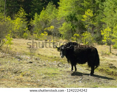 Yak in the Kingdom of Bhutan high in the Himalayas. The domestic yak (Bos grunniens) is a long-haired domesticated bovid found in the Himalayan region, the Tibetan Plateau, Mongolia and Russia.