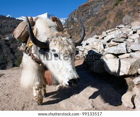 Yak in way to everest base camp - Nepal
