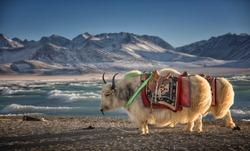 Yak, Namtso Lake in Tibet,China