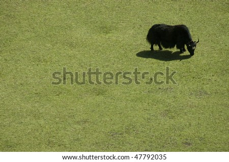 Yak on a pasture in the Himalayas, Nep