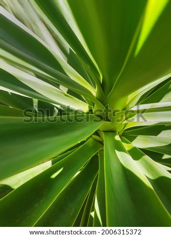 Yaka plant leaves up close with sunlight Stok fotoğraf ©