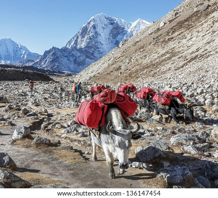 Yaks caravan on the trek at the foot of mount Everest (8848 m) near Lobuche village - Nepal, Himalayas