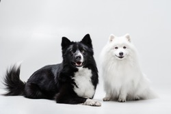 Yakutian laika and japanese spitz dog posing together on the isolated background