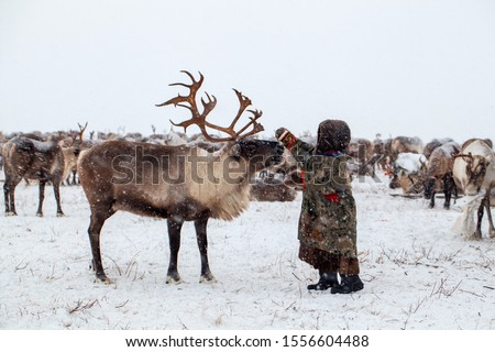 Yamal peninsula, Siberia. A herd of reindeer in winter, Reindeers migrate for a best grazing in the tundra nearby of polar circle in a cold winter day. reindeer herder