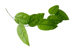 Yanang has a variety of properties. Because it is cold. Contains natural chlorophyll. And there are many vitamins to the body. path, clipping