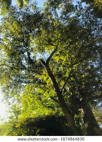 Yang na tree Baan-suan-ka-fe in Chiang mai Thailand near by Wat pra tart doi kum 14.30 pm. Stok fotoğraf ©