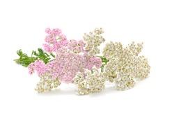 Yarrow (Achillea Millefolium) Flowers (Medicinal Plant) Isolated on White Background