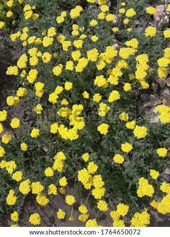 Yarrow blooming yellow flowers. Achilleatomentosa Aurea (Maynard's Gold). Zdjęcia stock ©