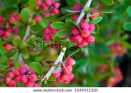 yaupon holly, is a species of holly that is native to southeastern North America.