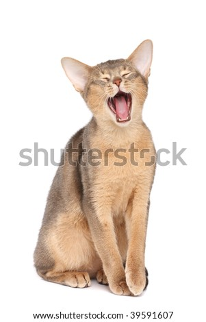 Yawning abyssinian cat