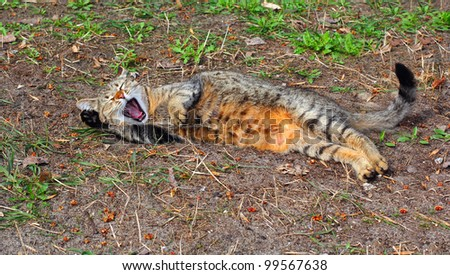 Yawning brown cat laying on the ground outdoors