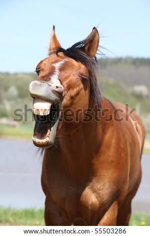 Yawning brown horse
