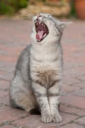 Yawning cat, Italy
