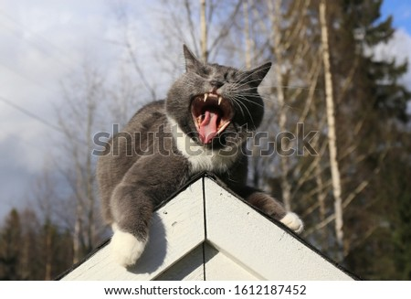 Yawning cat with an open mouth showing its teeth lying on a roof