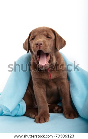Yawning chocolate labrador retriever puppy with a blue blanket