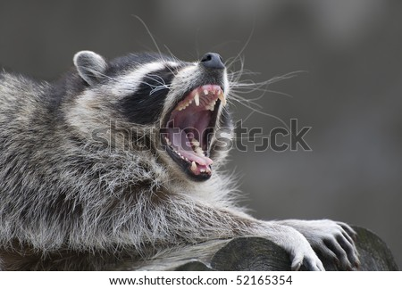 yawning common raccoon