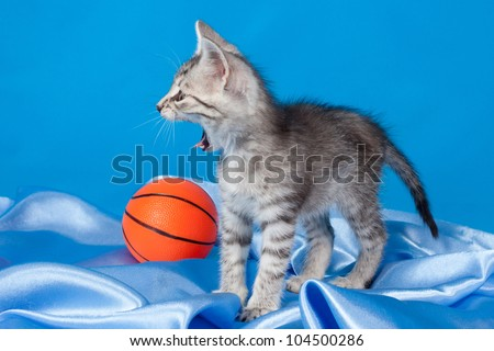 yawning gray kitten with a ball