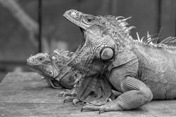 Yawning Iguana In Black and White
