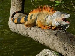 Yawning iguana sitting on a tree