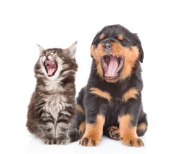 Yawning kitten and puppy. isolated on white background